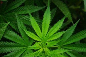 Cancer & Cannabis
